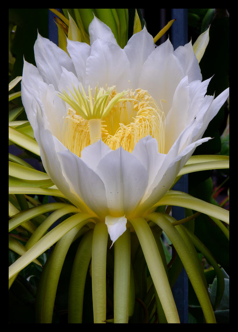 White Cactus Flower By Tawmn On Deviantart