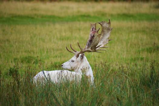 White Deer II