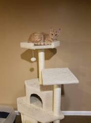 Watson on his cat tree
