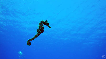 Sea Horse by MAEDesign