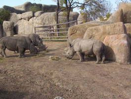 Stock-Rhinos by severedconnection