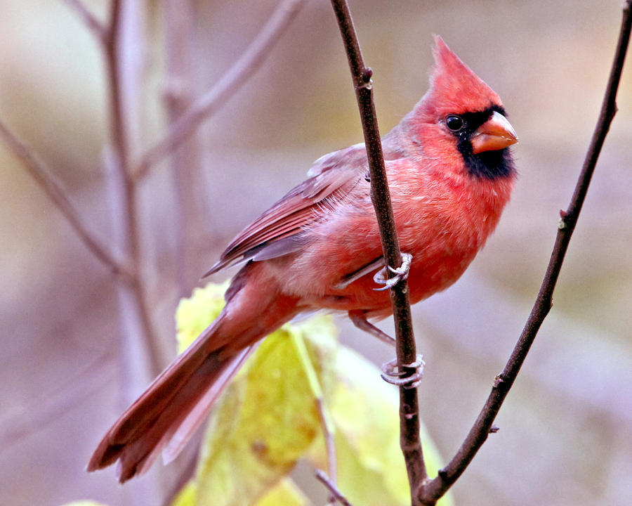 cardinal in mauve by clippercarrillo