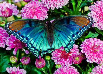 5x7 red spotted purple greeting card by clippercarrillo