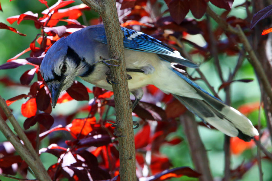 Curious Jay by clippercarrillo