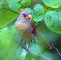 Kansas Breeding Female Cardinal by clippercarrillo