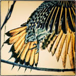 Northern Flicker Detail by clippercarrillo