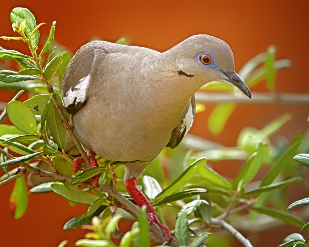 White Winged Dove Adult by clippercarrillo