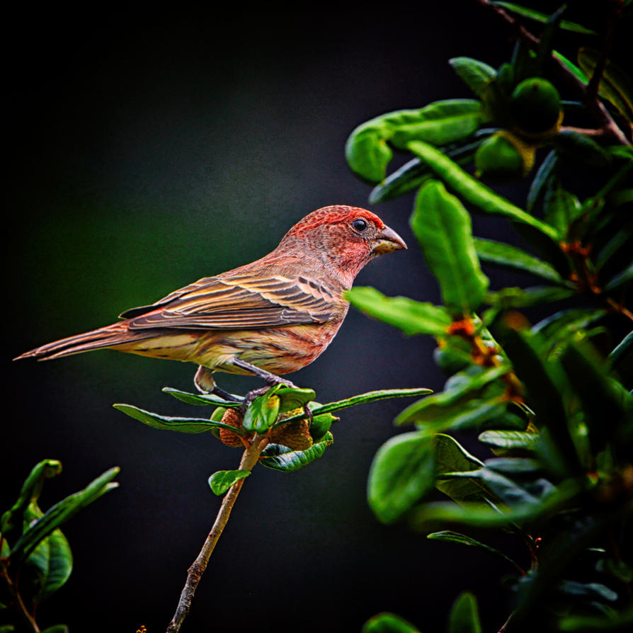 House Finch, Immature Male by clippercarrillo
