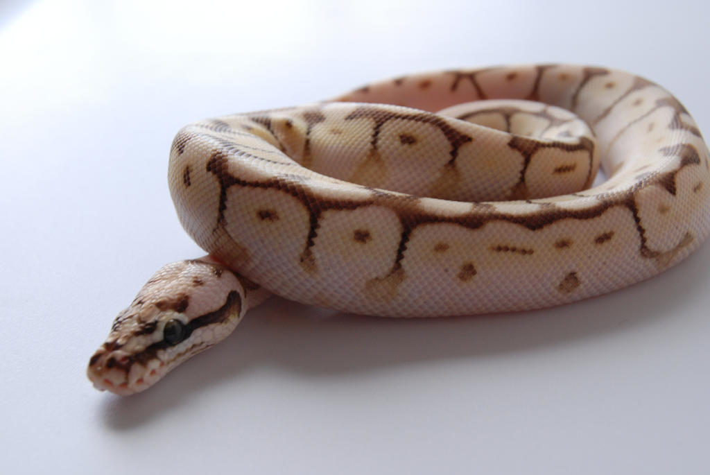 Baby Ball Python 6 by FearBeforeValor