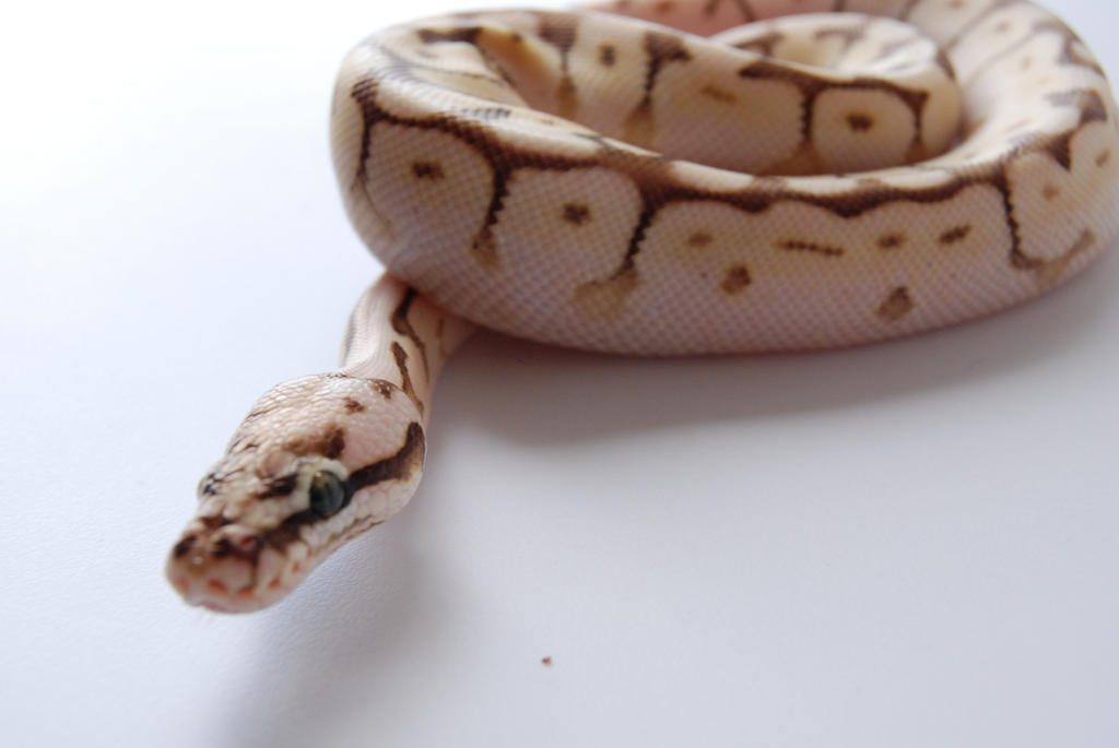 Baby Ball Python 7 by FearBeforeValor