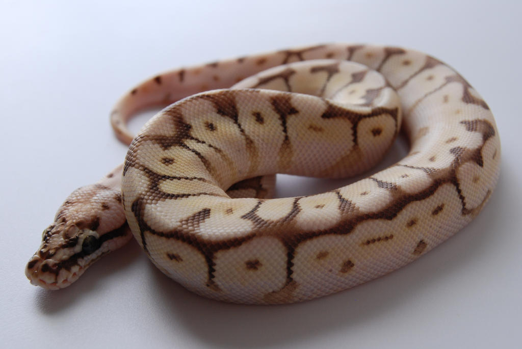 Baby Ball Python 8 by FearBeforeValor