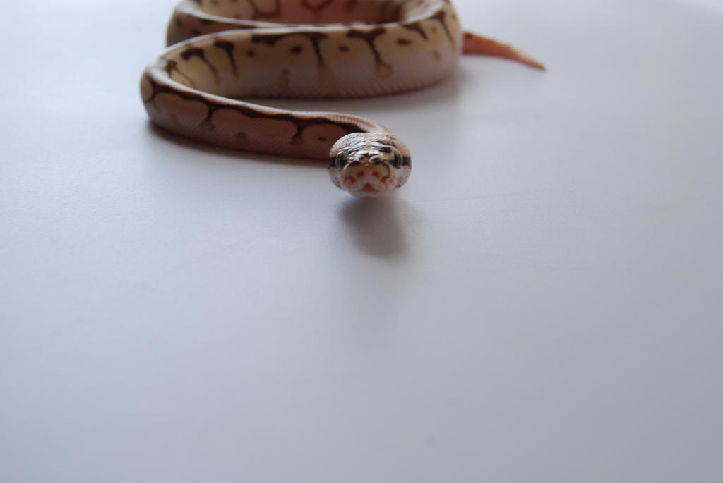 Baby Ball Python 16 by FearBeforeValor