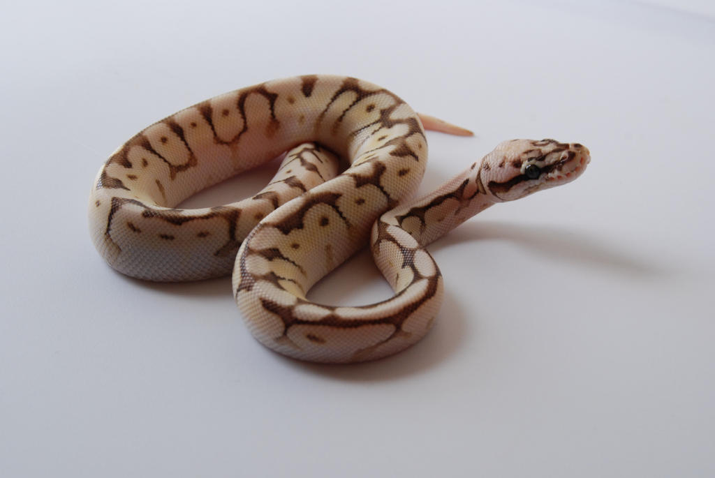 Baby Ball Python 19 by FearBeforeValor