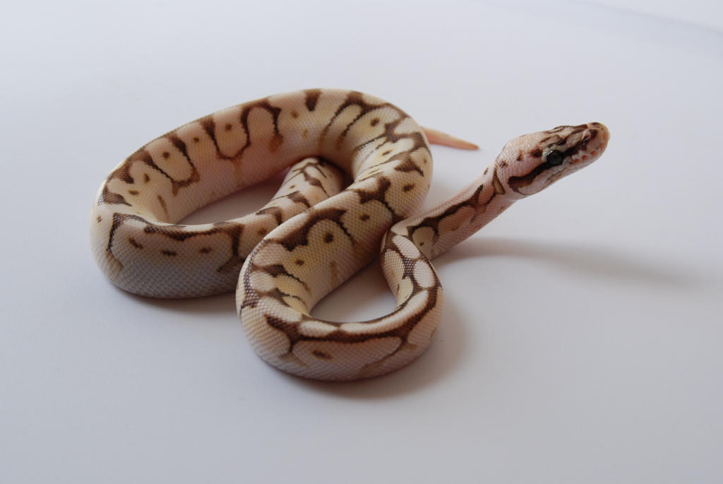 Baby Ball Python 20 by FearBeforeValor