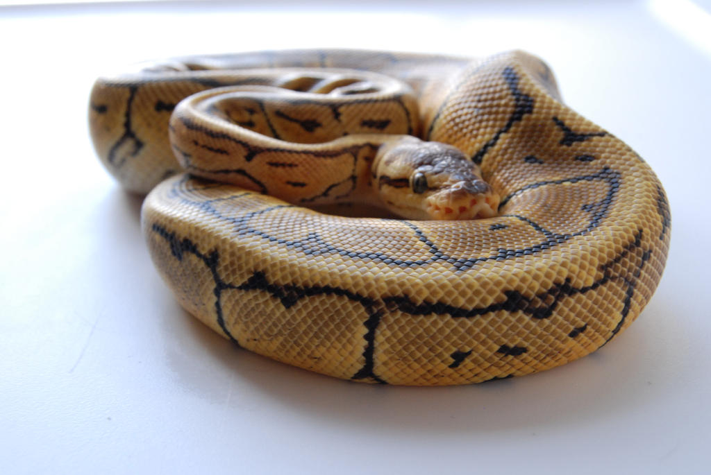 Lemon Blast Ball Python 3 by FearBeforeValor