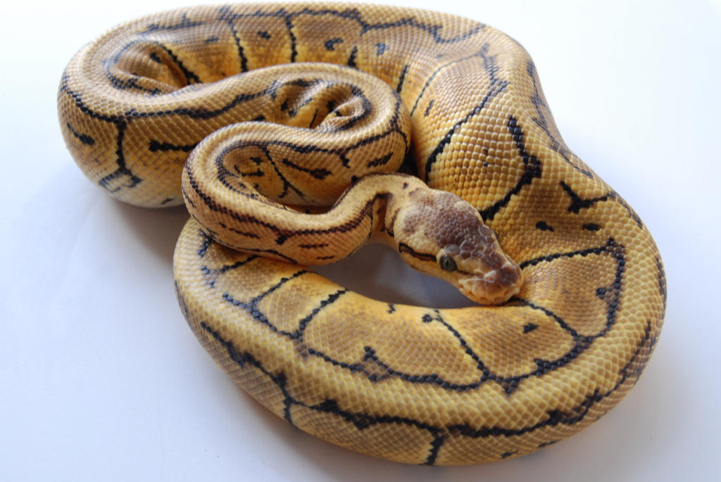 Lemon Blast Ball Python 4 by FearBeforeValor