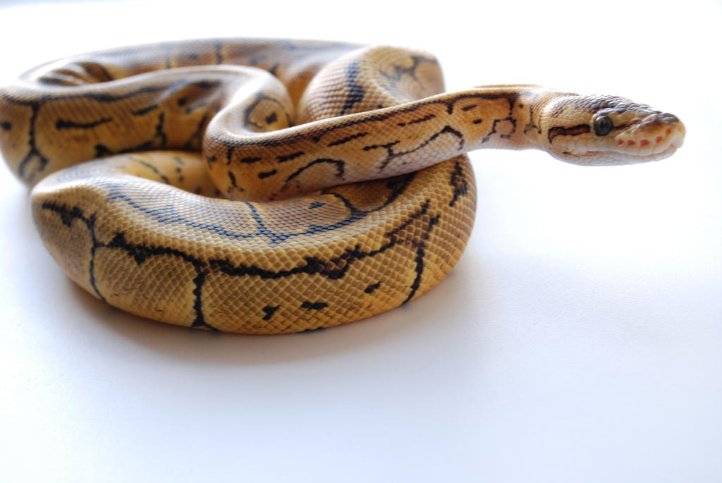 Lemon Blast Ball Python 6 by FearBeforeValor