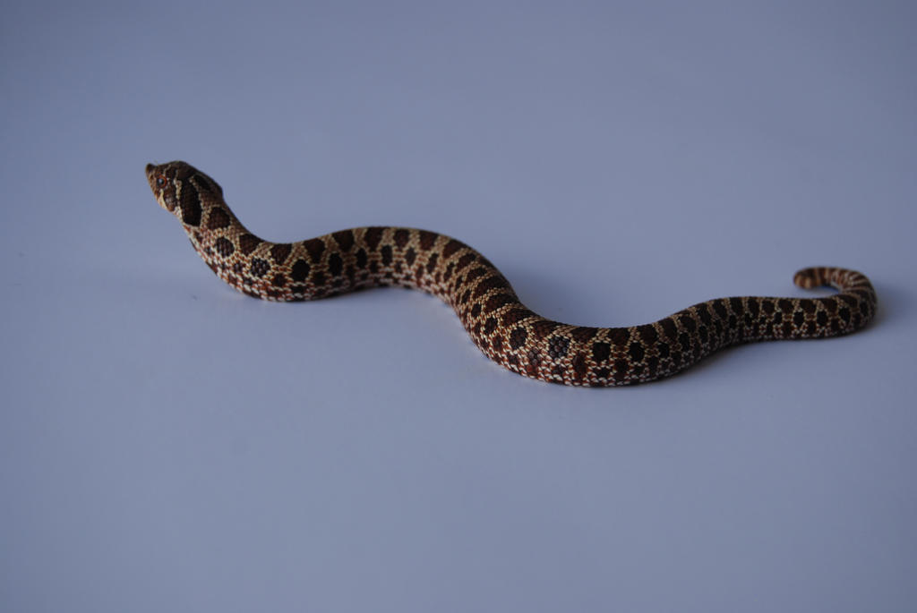 Baby Hognose 1 by FearBeforeValor