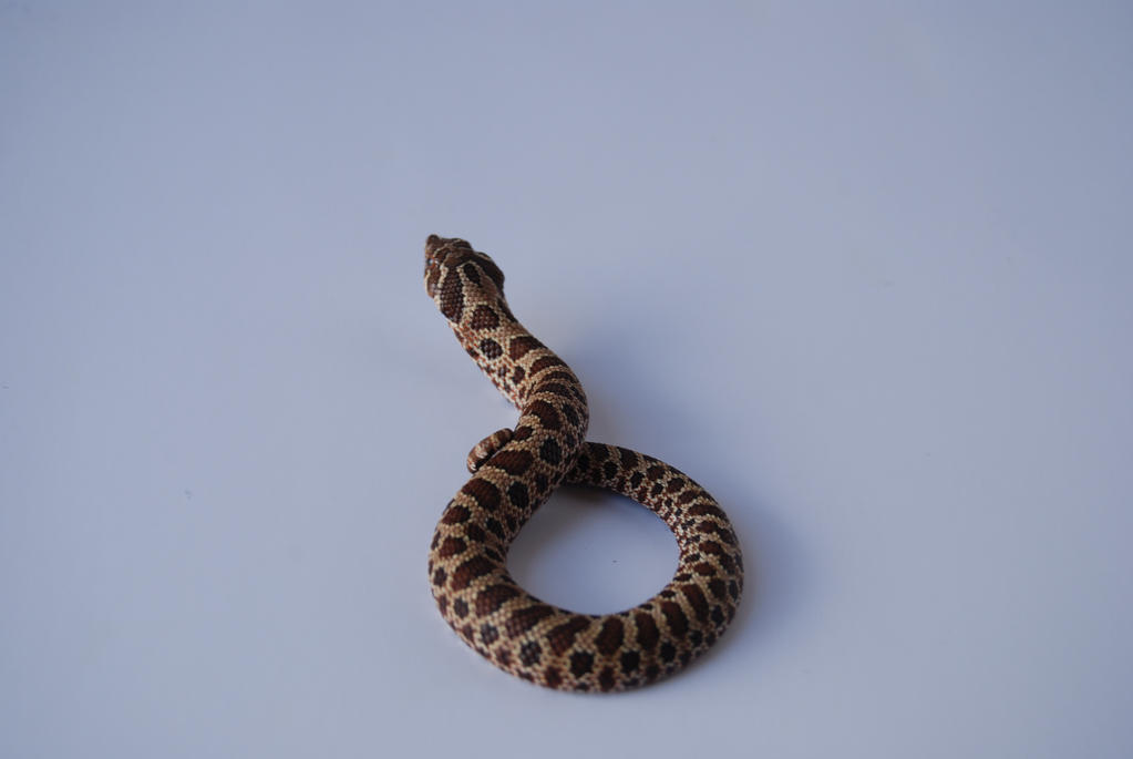 Baby Hognose 2 by FearBeforeValor