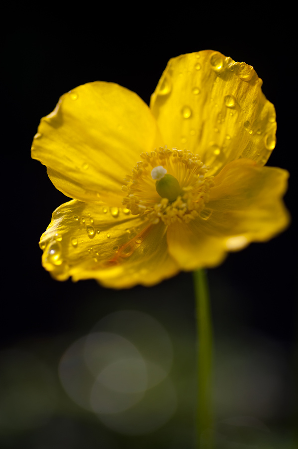Poppy After Morning Rain by salman-khan