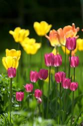 Tulip - I