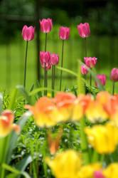 Tulips-II