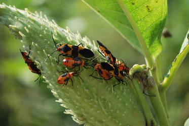 Milkweed bugs by Teh-Ked