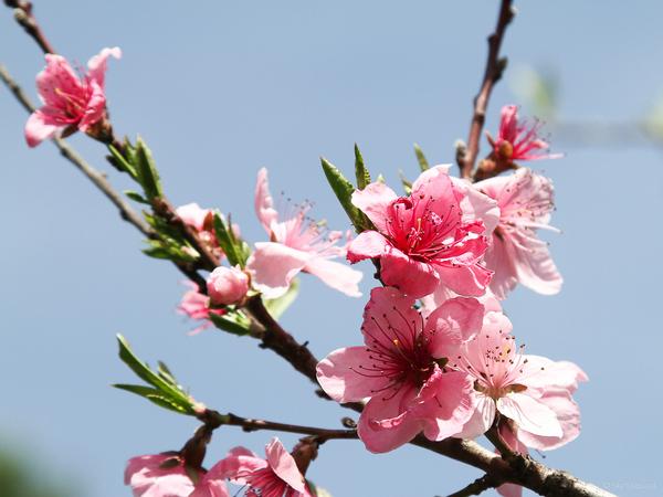 Peach Tree Blossoms Sky by skyshepard on DeviantArt