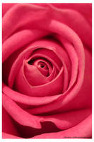 Pink Rose by bupo