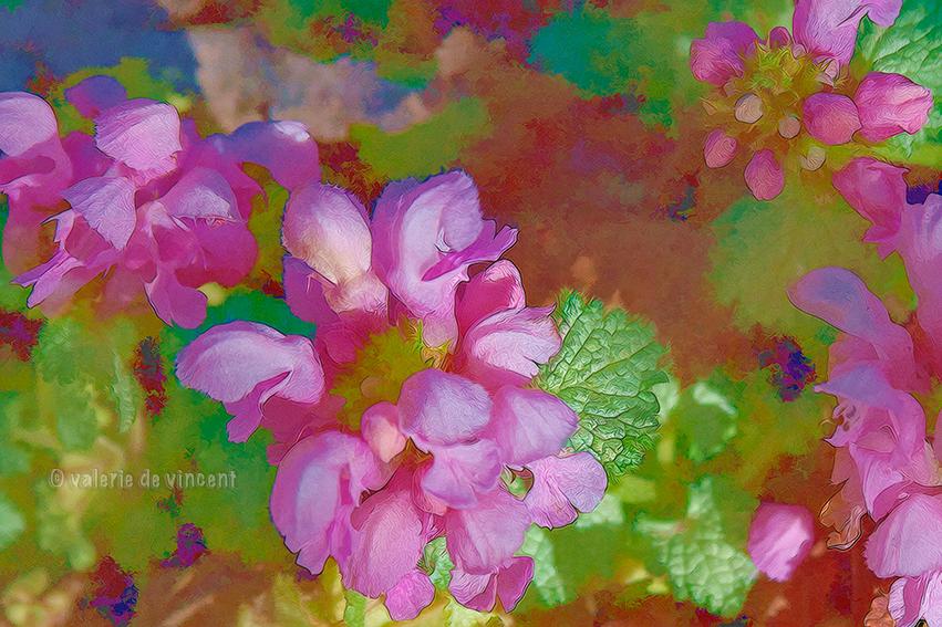 Lamium 'Pink Pewter' by zasu