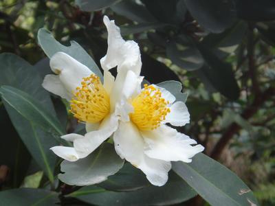 Gordonia axillaris by acory