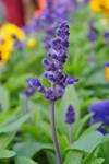 Salvia farinacea Benth by acory