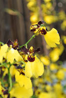 Oncidium by acory