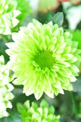 Chrysanthemum morifolium Ramat by acory