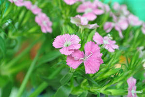 Dianthus by acory