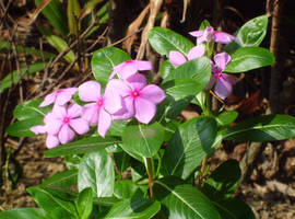 Catharanthus roseus by acory