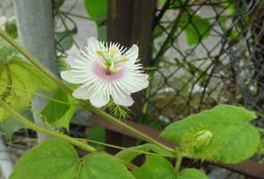 Passiflora foetida by acory