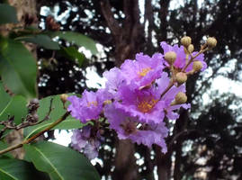 Lagerstroemia speciosa by acory