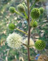 Leucaena leucocephala by acory