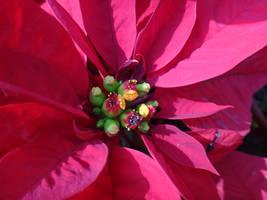 Euphorbia pulcherrima by acory
