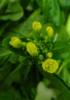 Chinese Flowering Cabbage by acory
