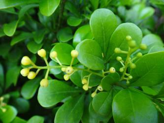Aglaia odorata by acory