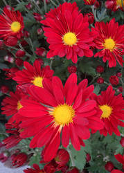 Chrysanthemum Indicum-Hybride by acory