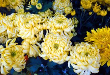 chrysanthemum pronunciation by acory