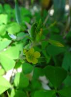 Oxalis corniculata by acory
