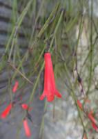 Russelia equisetiformis by acory