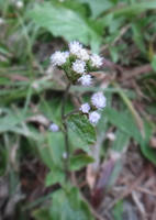 Ageratum conyzoides by acory