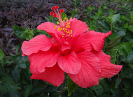Hibiscus rosa-sinensis L. by acory
