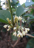 Osmanthus fragrans by acory