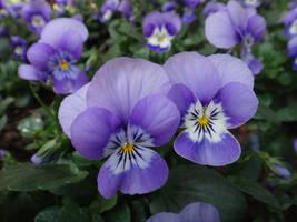 Viola tricolor by acory